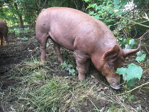 mhof pigs 2.jpeg