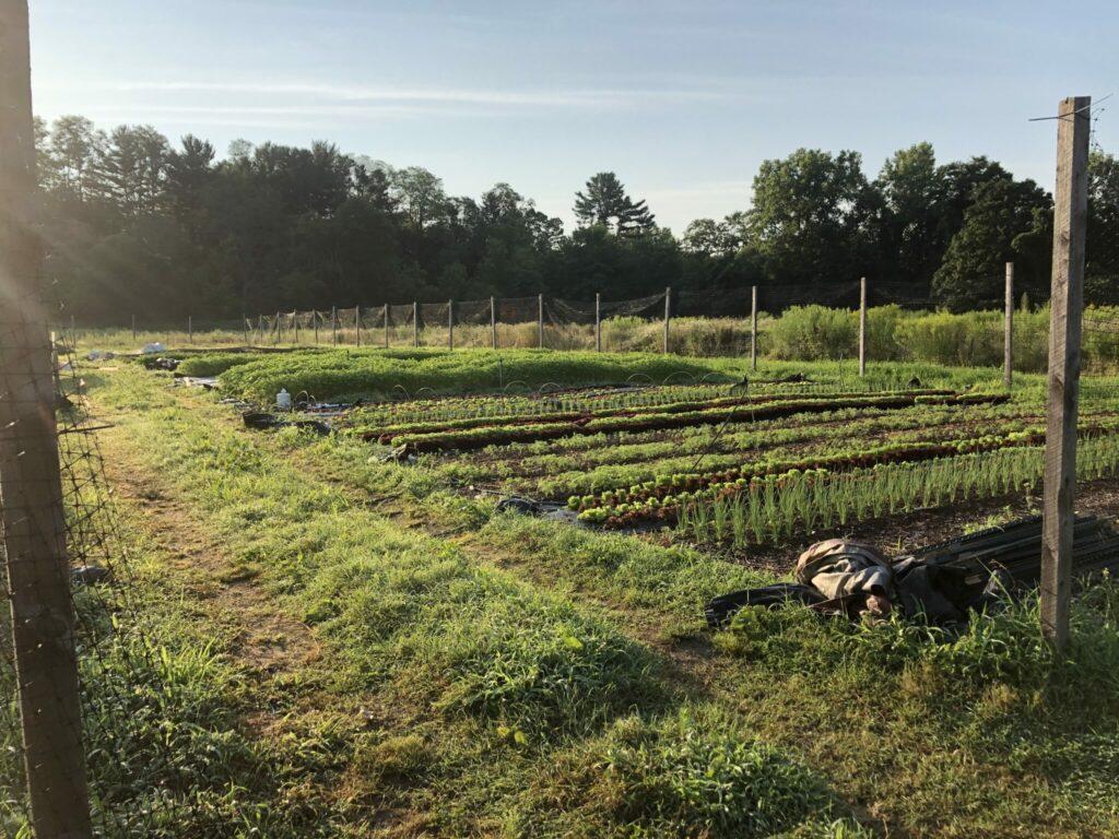 harvest morning beauty.jpg